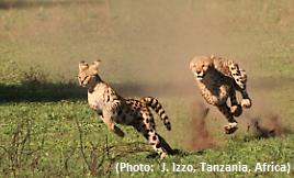 Cheetah Serval